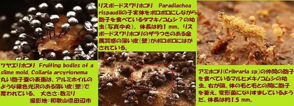 変形菌-3