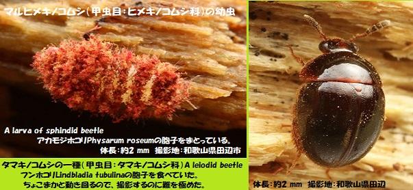 変形菌-5