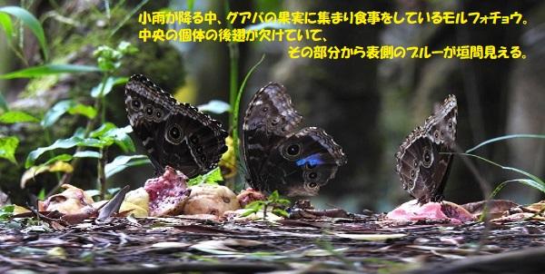 チョウ-5