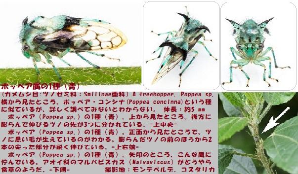 ツノゼミ-12