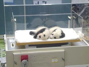パンダの 赤ちゃん ヽ(^o^)丿