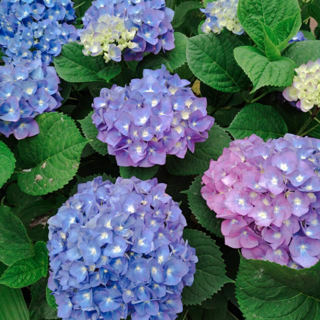 紫陽花の花1.jpg