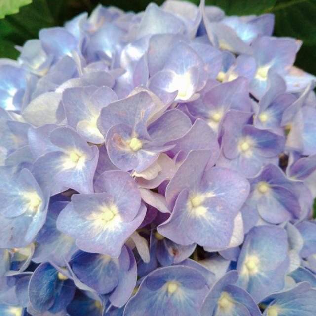 紫陽花の花2.jpg