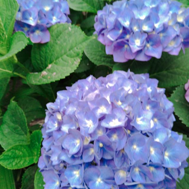 紫陽花の花3.jpg