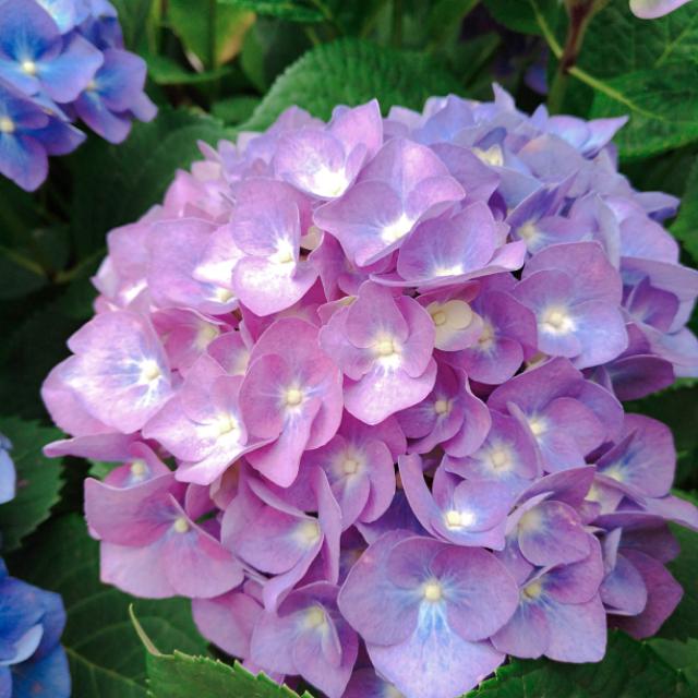 紫陽花の花4.jpg