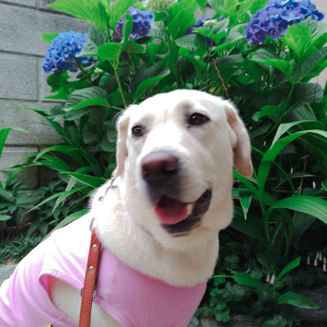 紫陽花の花7.jpg