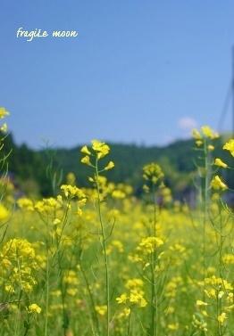 車窓の菜の花