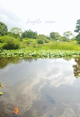 浜寺公園 蓮池