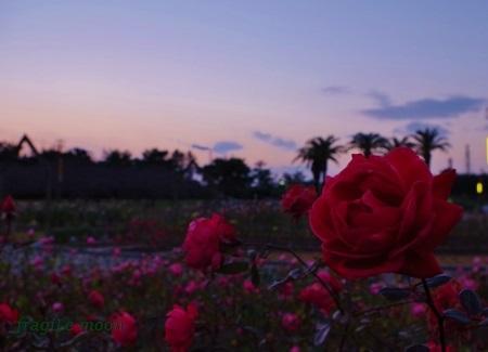 夕暮れの冬薔薇