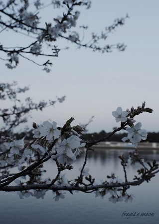 2017桜1x