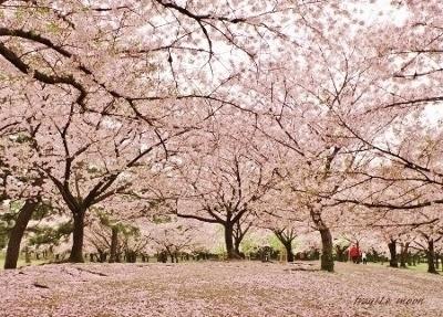2017桜13カラー修正