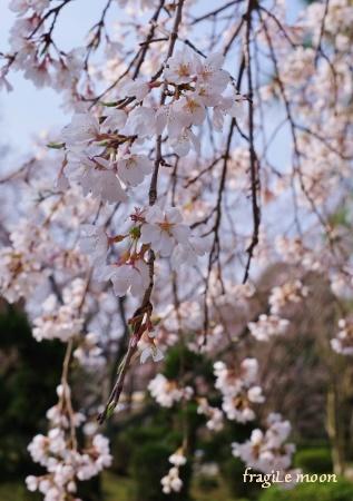 2018桜・鉢ヶ峰2
