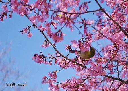 2018桜とメジロ