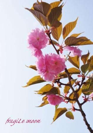 2018桜・八重桜・葉桜