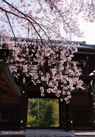 2018桜・鉢ヶ峰4