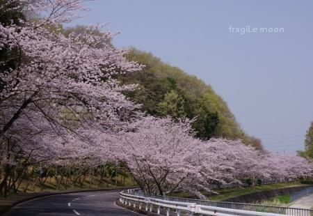 2018桜・鉢ヶ峰5