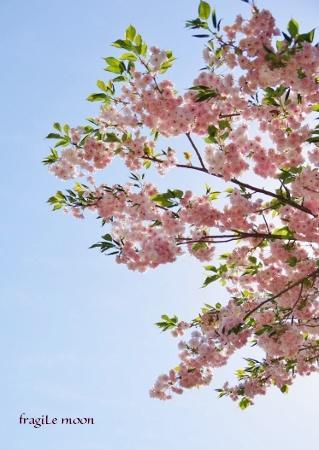金沢・菊桜