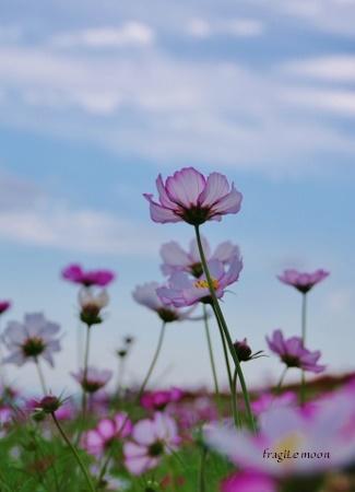 コスモス1花さじき