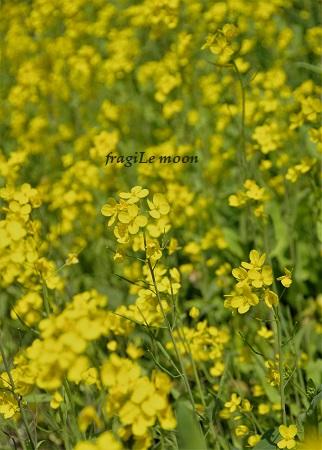霧島の菜の花