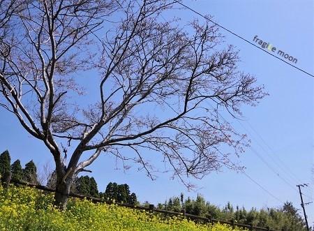 霧島の菜の花b