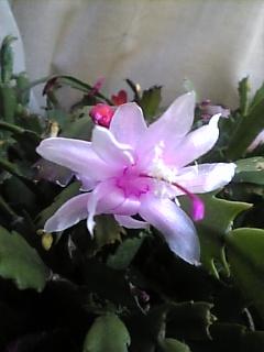 シャコバサボテン・ピンク色