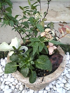 コデマリの寄せ植え