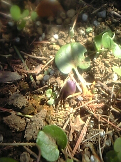 ホスタ・パトリオットの芽