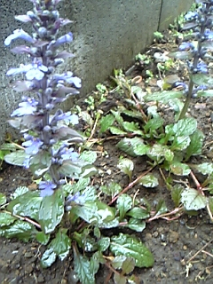 セイヨウジュウニヒトエ(西洋十二単)の花