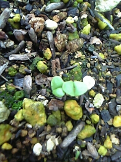 バジルの芽