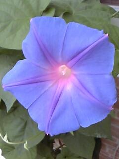 宿根性房咲き(ノアサガオ突然変異亜種)朝顔の花