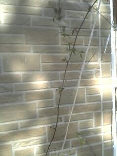 モッコウバラの苗