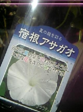 宿根草のアサガオ(白)