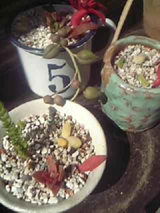 シャボテンの寄せ植え