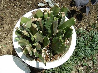 植え替え後のシャコバサボテン