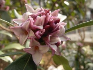 沈丁花が開花