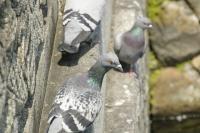 倉敷川の鳩