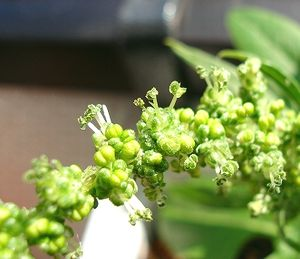 ホウレンソウの花アップ