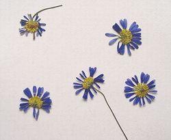 ブラキカム押し花