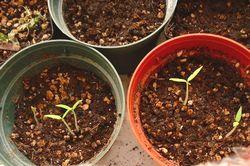 トマトの芽