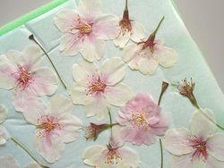 桜の押し花
