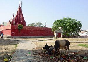 寺院裏の牛