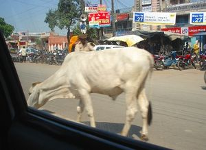 ムガールサライの牛