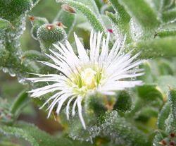 アイスプラントの花
