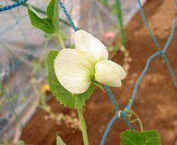 スナップエンドウの花