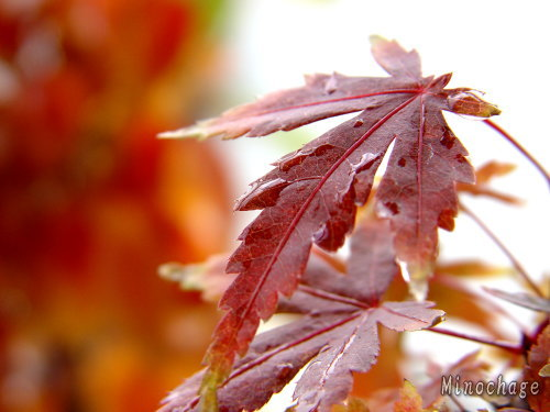 自宅の紅葉(3)