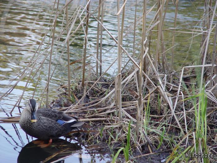 鴨の足水面下 CPL