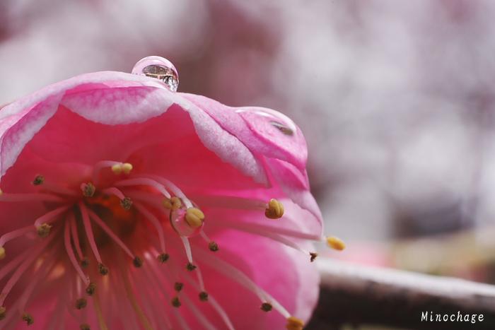 吉野梅郷−朝の水滴