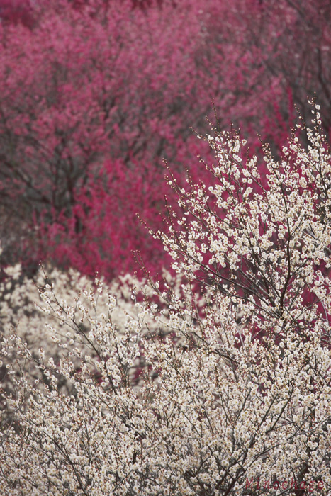 吉野梅郷−紅と白の共演