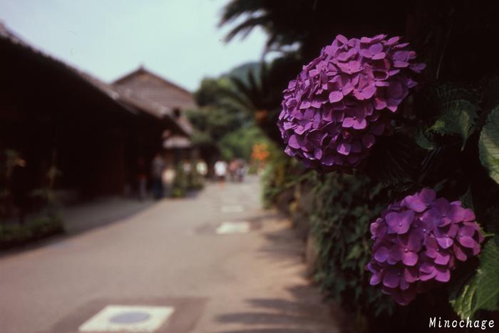 仙厳園の紫陽花