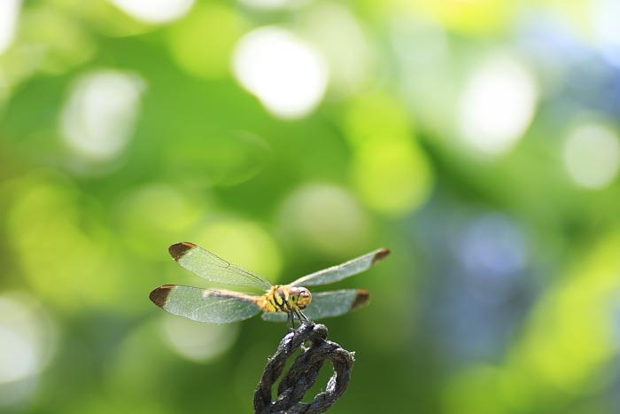 真夏の蜻蛉
